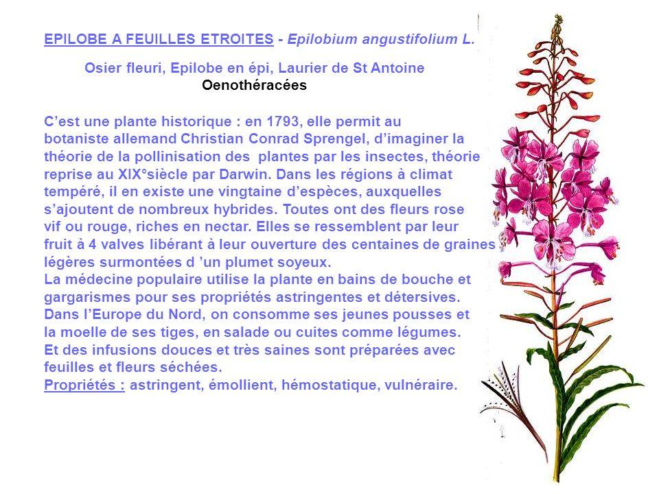 EPIAIRES a) Stachys palustris L.b) Stachys silvatica L.