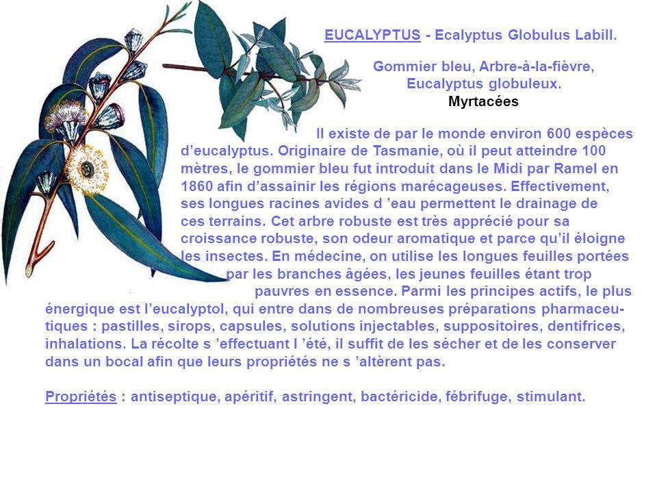 EPILOBE A FEUILLES ETROITES - Epilobium angustifolium L.