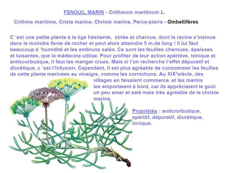 EUPHRAISE - Euphrasia officinalis L.