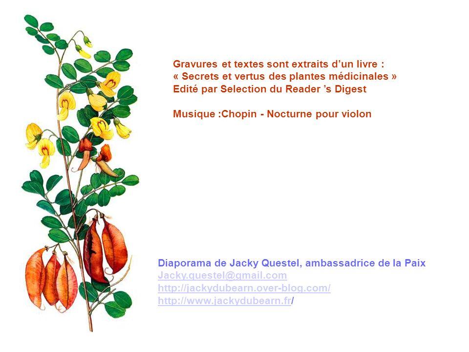 FRAGON EPINEUX - Ruscus aculeatus L.
