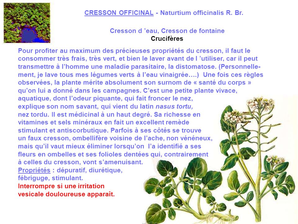 EUPATOIRE - Eupatorium cannabinum L.