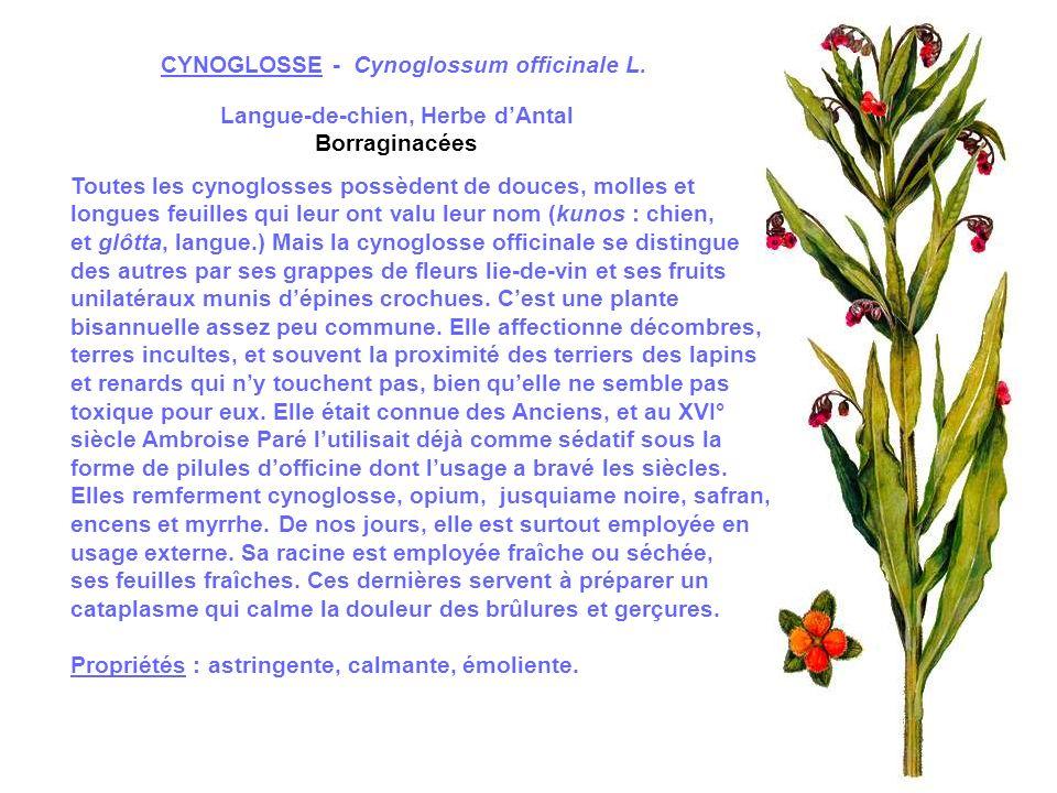 CRESSON OFFICINAL - Naturtium officinalis R.Br.