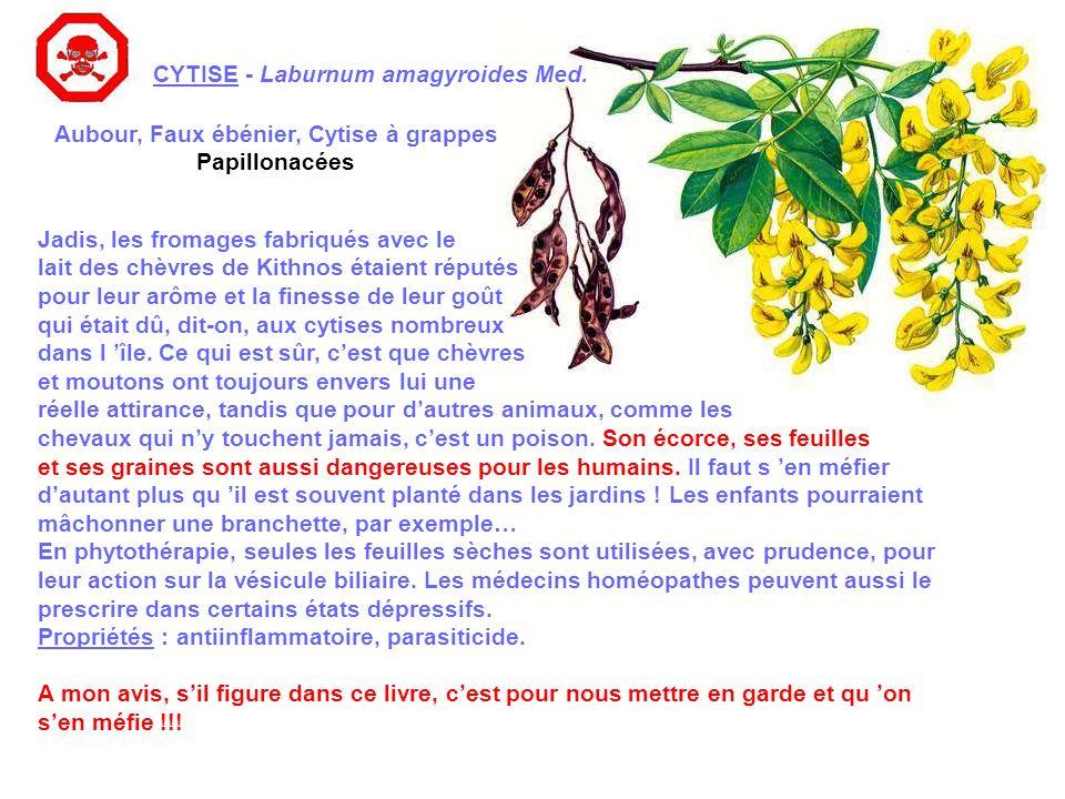 CYTISE - Laburnum amagyroides Med.