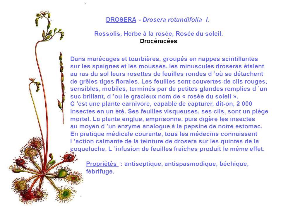 DAUPHINELLE PIED-D ALOUETTE Consolida regalis S.F.GRAY Dauphinelle des blés, herbe aux poux, Dauphinelle Consoude Renonculacées Considéré comme une mauvaise herbe par les cultivateurs, le Pied-d alouette est une plante sauvage originaire d Asie Mineure.Assez semblable à laconit Napel, plante vénéneuse réservée à lusage médical, il suffit pour lidentifier dobserver son long éperon floral dressé, riche en nectar.