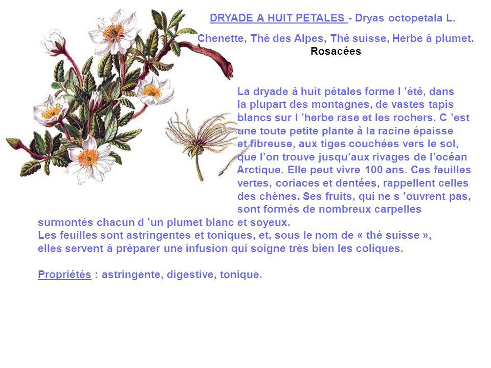 DRYADE A HUIT PETALES - Dryas octopetala L.Chenette, Thé des Alpes, Thé suisse, Herbe à plumet.
