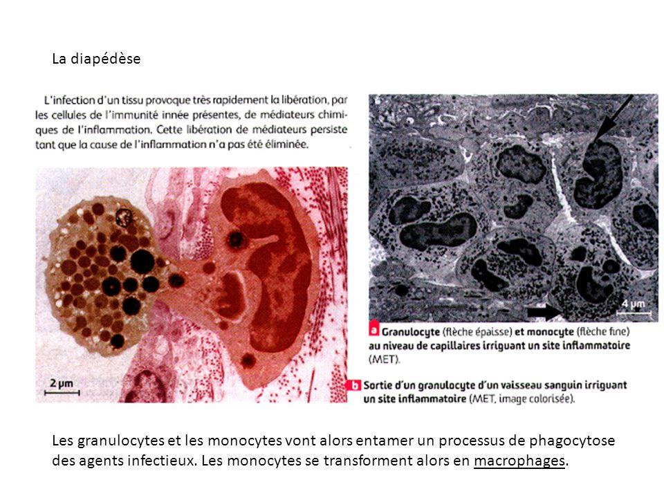 Les granulocytes et les monocytes vont alors entamer un processus de phagocytose des agents infectieux. Les monocytes se transforment alors en macroph