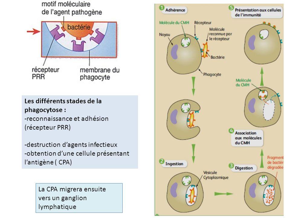 Les différents stades de la phagocytose : -reconnaissance et adhésion (récepteur PRR) -destruction dagents infectieux -obtention dune cellule présenta