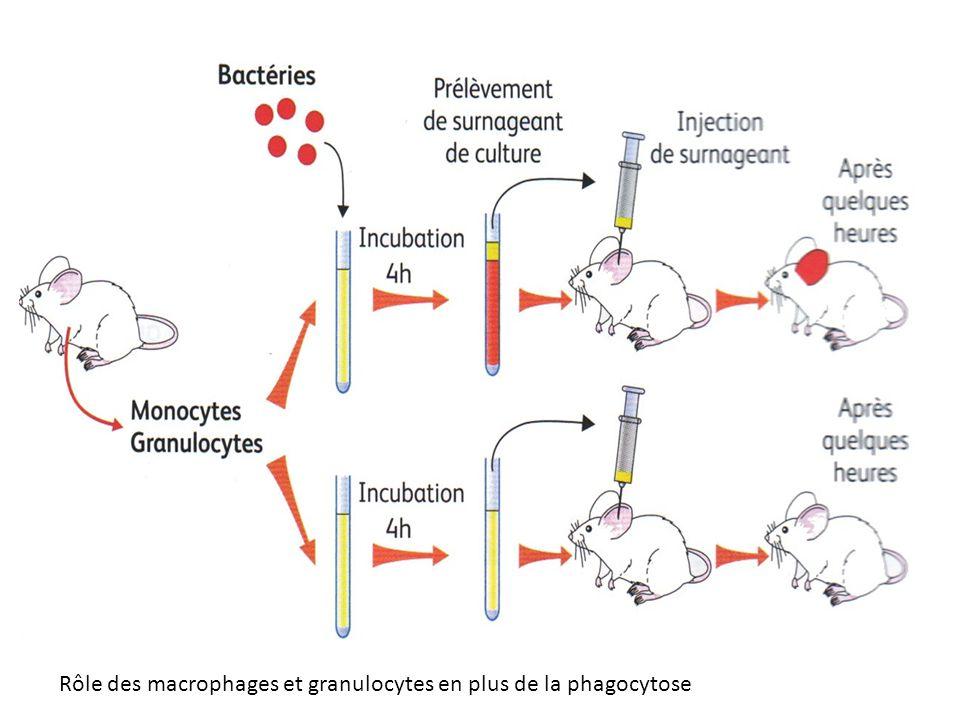 Rôle des macrophages et granulocytes en plus de la phagocytose