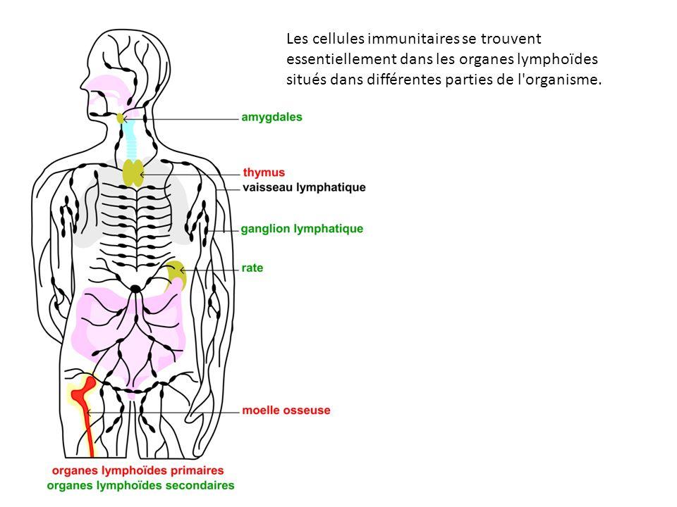 Les cellules immunitaires se trouvent essentiellement dans les organes lymphoïdes situés dans différentes parties de l'organisme.