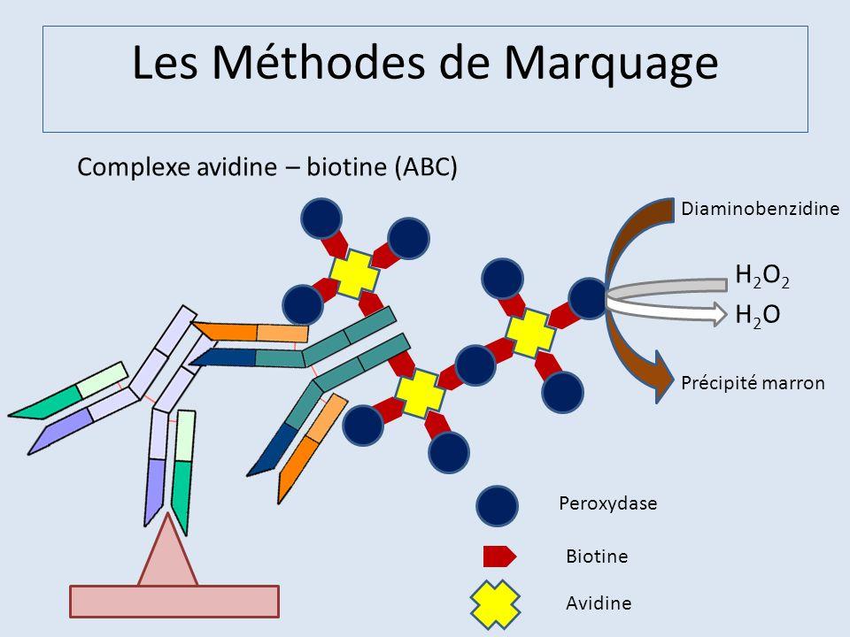 Les Méthodes de Marquage Complexe avidine – biotine (ABC) Peroxydase Biotine Avidine H2O2H2O2 H2OH2O Diaminobenzidine Précipité marron