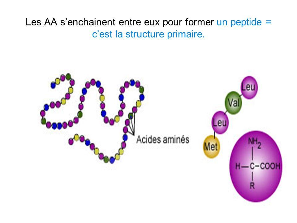 Les AA senchainent entre eux pour former un peptide = cest la structure primaire.