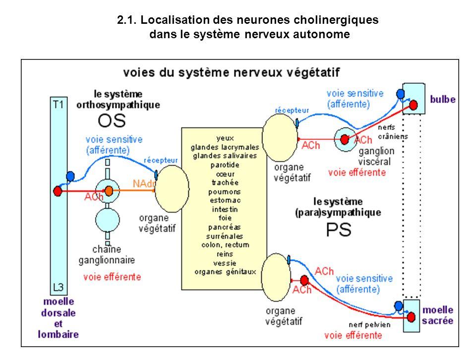 2.1. Localisation des neurones cholinergiques dans le système nerveux autonome