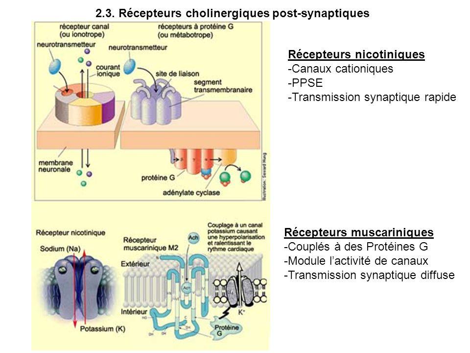 Récepteurs nicotiniques -Canaux cationiques -PPSE -Transmission synaptique rapide Récepteurs muscariniques -Couplés à des Protéines G -Module lactivit