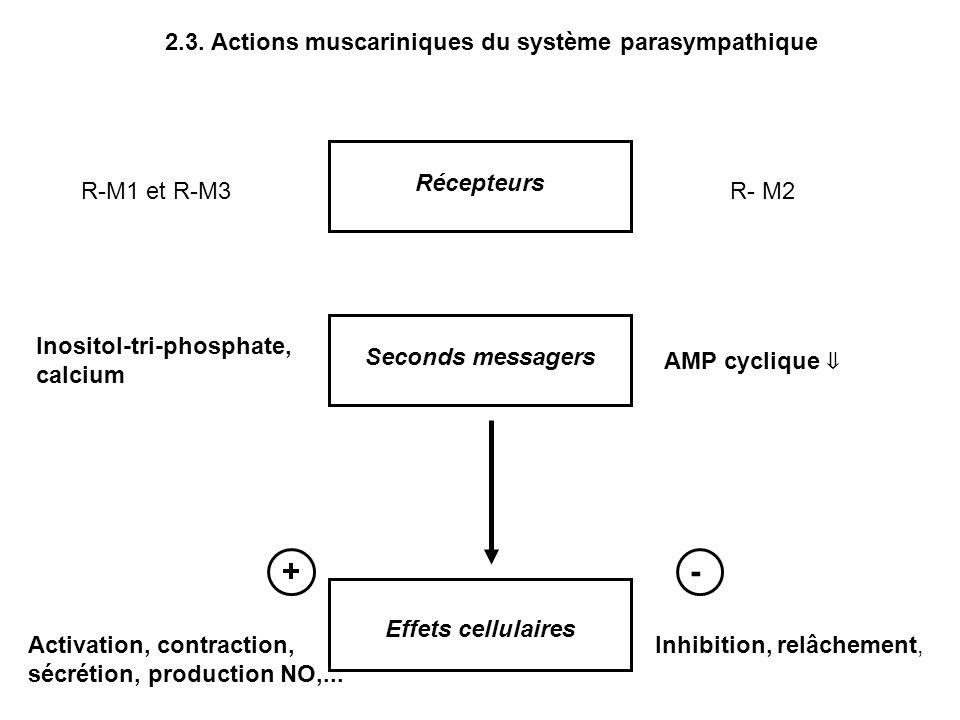 Seconds messagers Inositol-tri-phosphate, calcium AMP cyclique Effets cellulaires Activation, contraction, sécrétion, production NO,... Inhibition, re