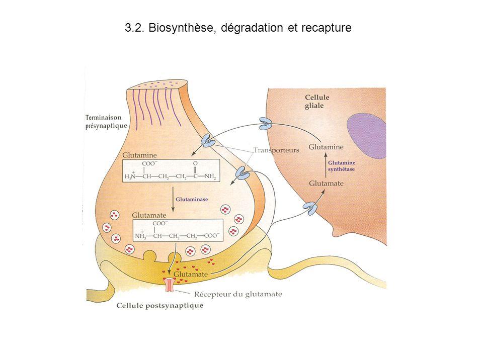 3.2. Biosynthèse, dégradation et recapture