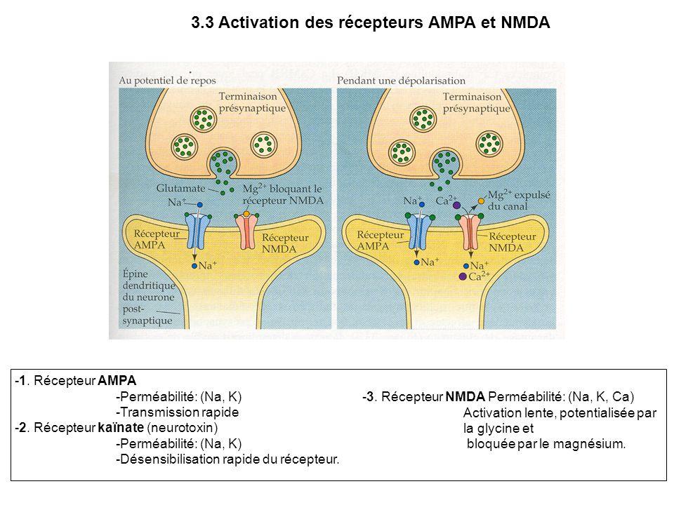 3.3 Activation des récepteurs AMPA et NMDA -1. Récepteur AMPA -Perméabilité: (Na, K) -Transmission rapide -2. Récepteur kaïnate (neurotoxin) -Perméabi