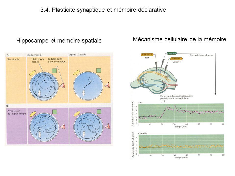 Hippocampe et mémoire spatiale Mécanisme cellulaire de la mémoire 3.4. Plasticité synaptique et mémoire déclarative