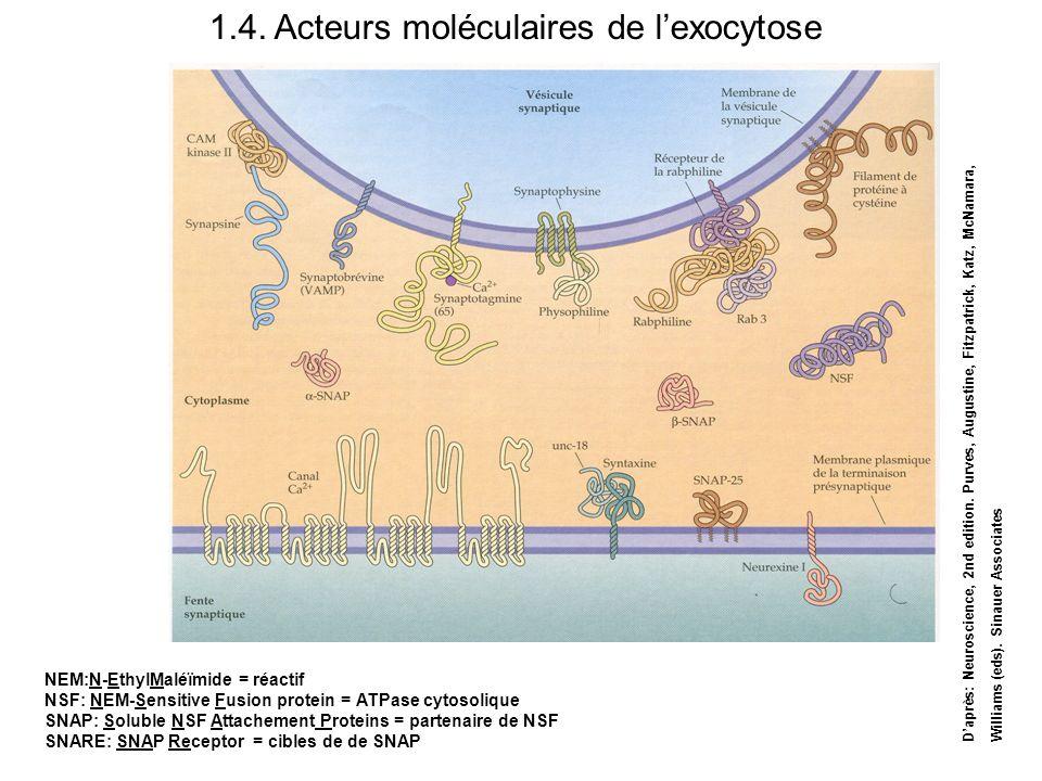 1.4. Acteurs moléculaires de lexocytose NEM:N-EthylMaléïmide = réactif NSF: NEM-Sensitive Fusion protein = ATPase cytosolique SNAP: Soluble NSF Attach