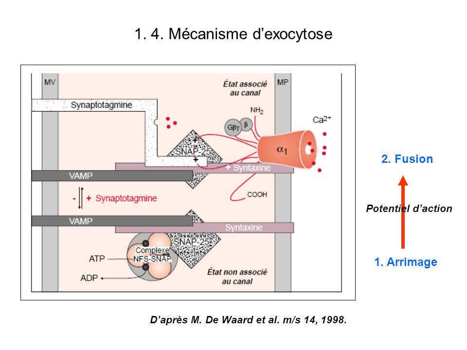 1.5 Toxines à activité pré-synaptique Inhibition de lexocytose –Toxines clostridiales : protéases Toxine botulinique Toxine tétanique –Toxines de cône: bloqueurs de canaux calciques Conus geographus toxine Conus magnus toxine –Toxines daraignée : bloqueurs de canaux calciques Agatoxine (Agelenopsis aperta) Inactivation de la neurotransmission –Toxine daraignée: protéases dégradant un inhibiteur de lexocytose -latrotoxine –Toxines de serpents: bloqueurs de canaux potassiques Dendrotoxine (mamba vert: Dendroaspis viridis ou jamesoni et mamba noir: Dendroaspis polylepis).