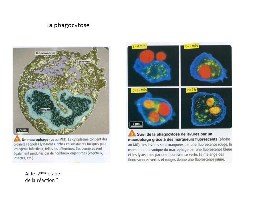 Le prolongement de la réaction inflammatoire Cellules dendritiques: cellules phagocytaires présentes partout dans lorganisme.