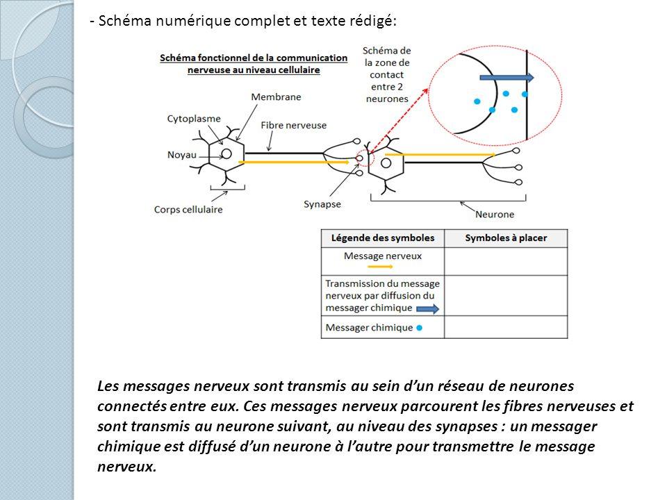 - Schéma numérique complet et texte rédigé: Les messages nerveux sont transmis au sein dun réseau de neurones connectés entre eux. Ces messages nerveu