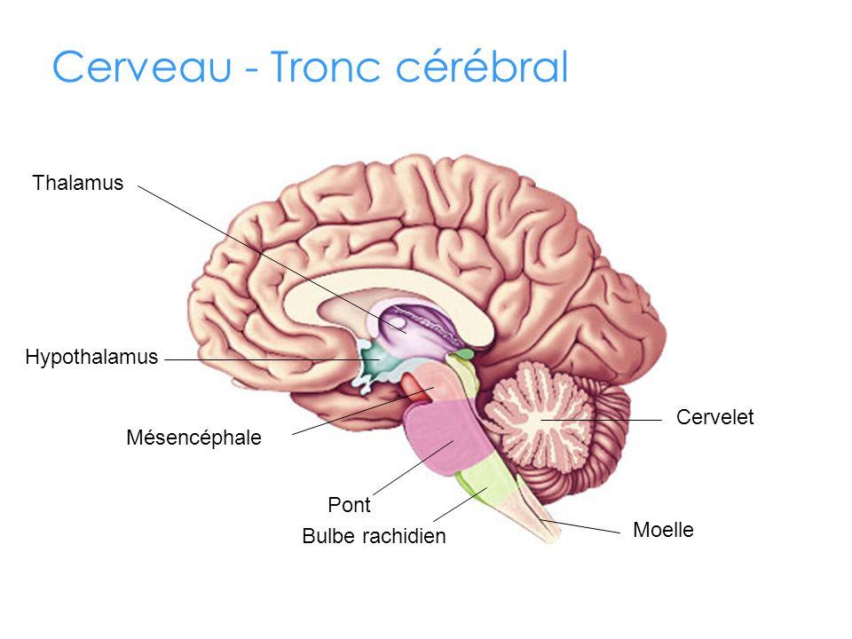 Cerveau - Tronc cérébral Thalamus Hypothalamus Cervelet Moelle Pont Mésencéphale Bulbe rachidien