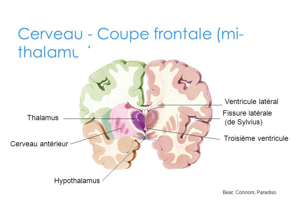 Cerveau - Coupe frontale (mi- thalamus) Ventricule latéral Fissure latérale (de Sylvius) Troisième ventricule Hypothalamus Thalamus Cerveau antérieur