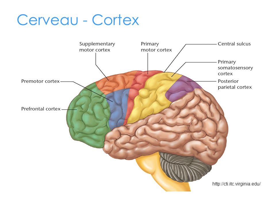 http://cti.itc.virginia.edu/ Cerveau - Cortex