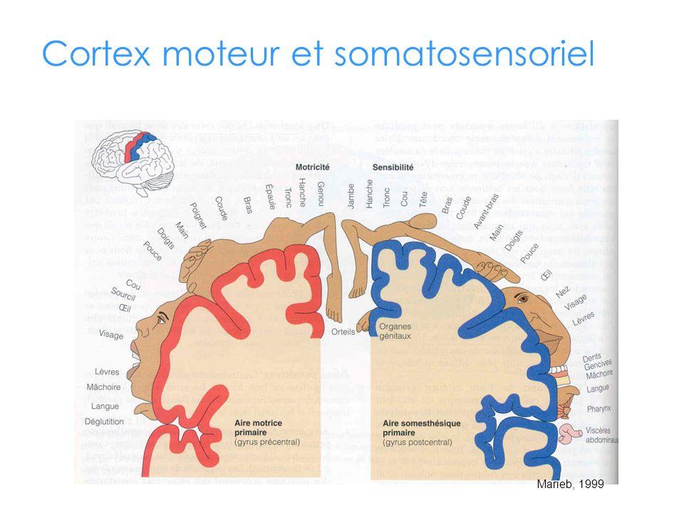 Cortex moteur et somatosensoriel Marieb, 1999