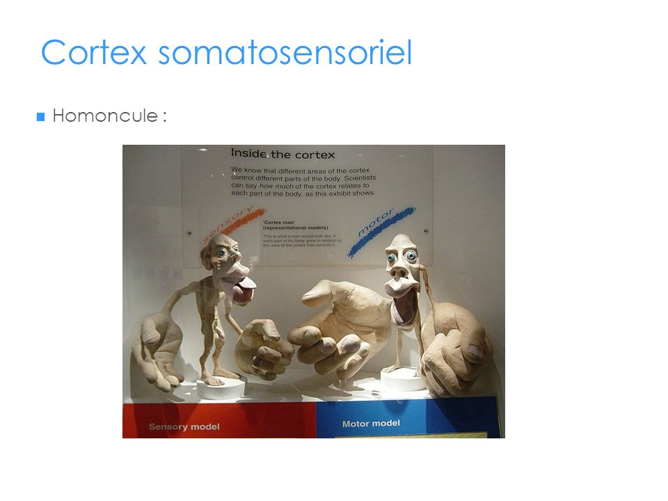 Cortex somatosensoriel Homoncule :