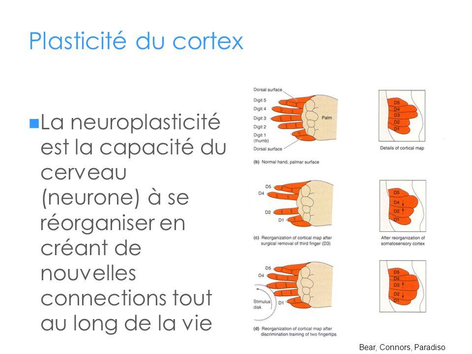 Plasticité du cortex La neuroplasticité est la capacité du cerveau (neurone) à se réorganiser en créant de nouvelles connections tout au long de la vi