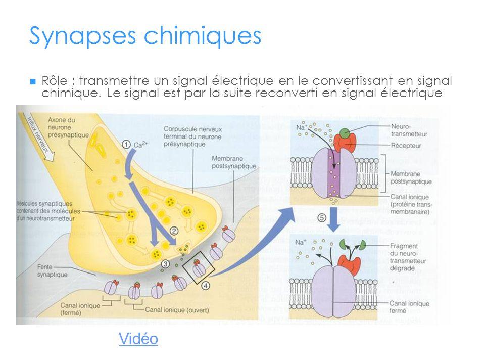 Synapses chimiques Rôle : transmettre un signal électrique en le convertissant en signal chimique. Le signal est par la suite reconverti en signal éle