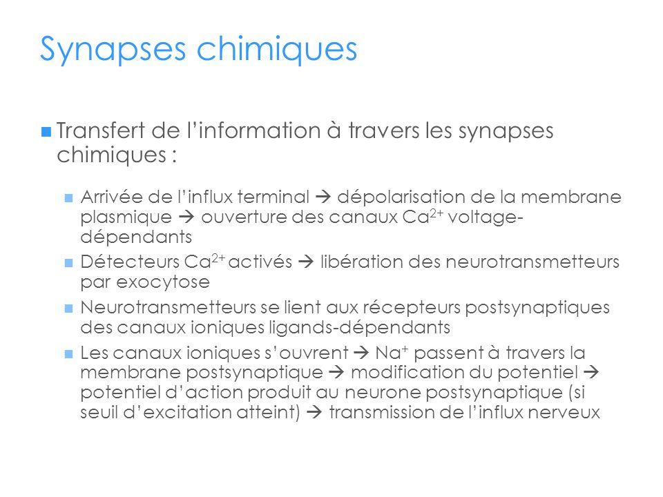 Synapses chimiques Transfert de linformation à travers les synapses chimiques : Arrivée de linflux terminal dépolarisation de la membrane plasmique ou