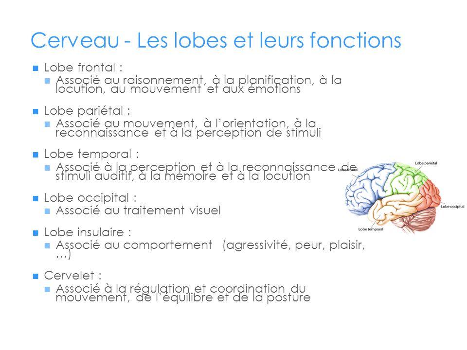 Cerveau - Les lobes et leurs fonctions Lobe frontal : Associé au raisonnement, à la planification, à la locution, au mouvement et aux émotions Lobe pa