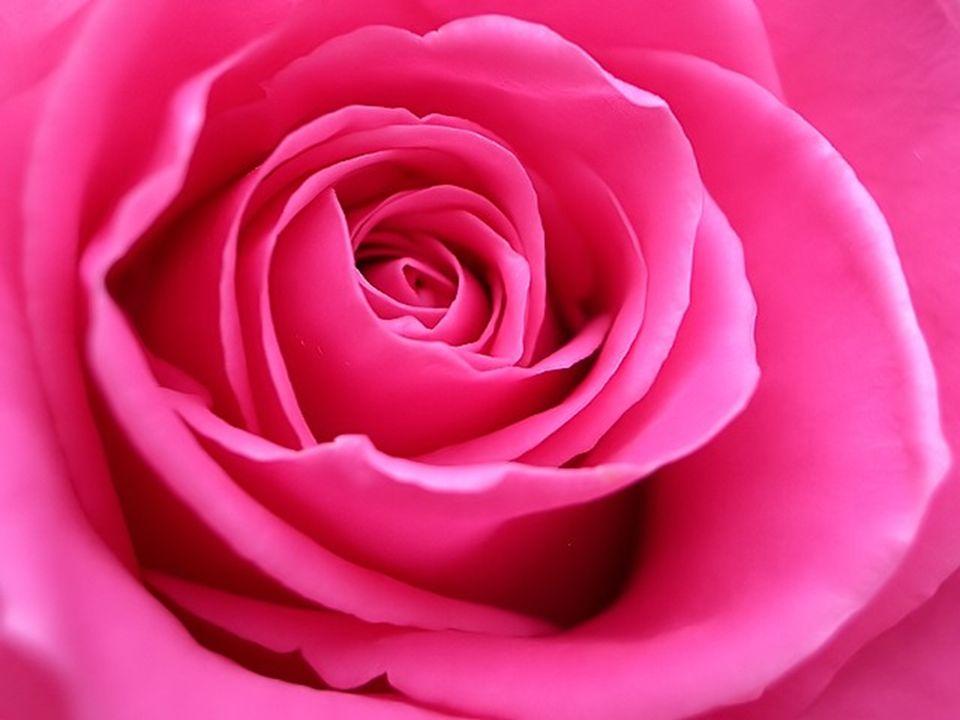 Le rose symbolise les qualités les plus douces du rouge, soit lamour, laffection, mais non la passion. Sentourer de rose procure la douceur et protège