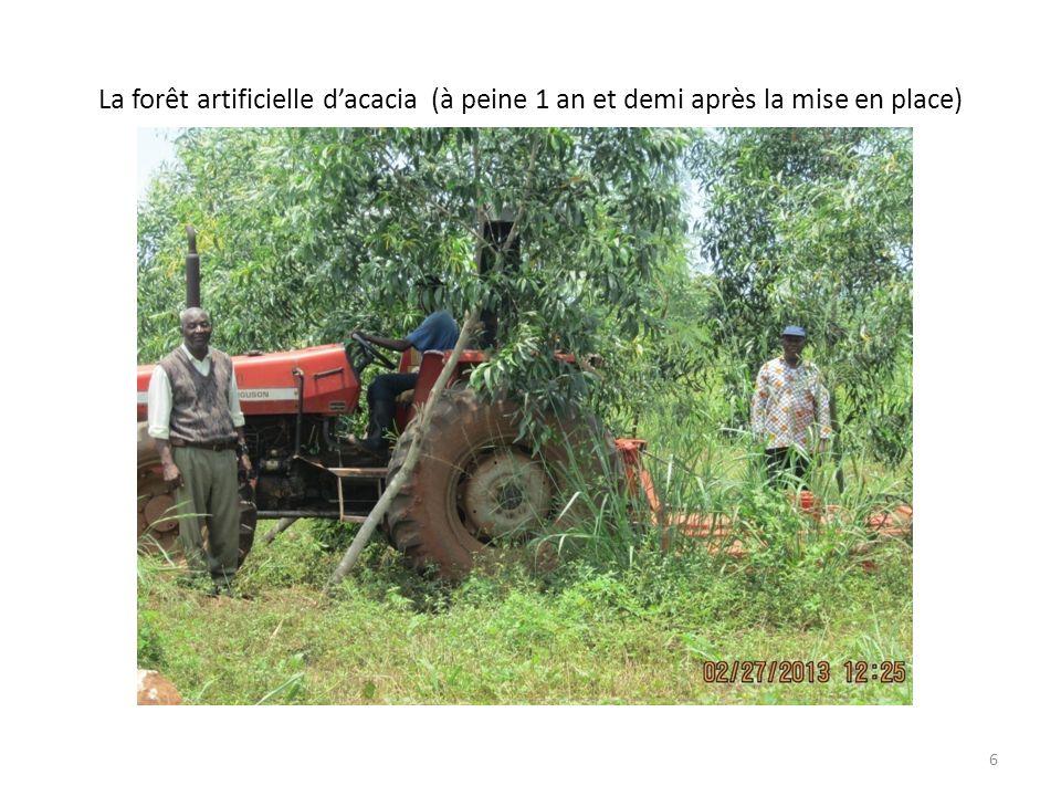 La forêt artificielle dacacia (à peine 1 an et demi après la mise en place) 6