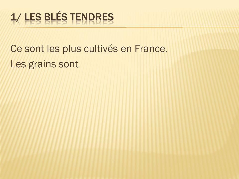 Ce sont les plus cultivés en France. Les grains sont