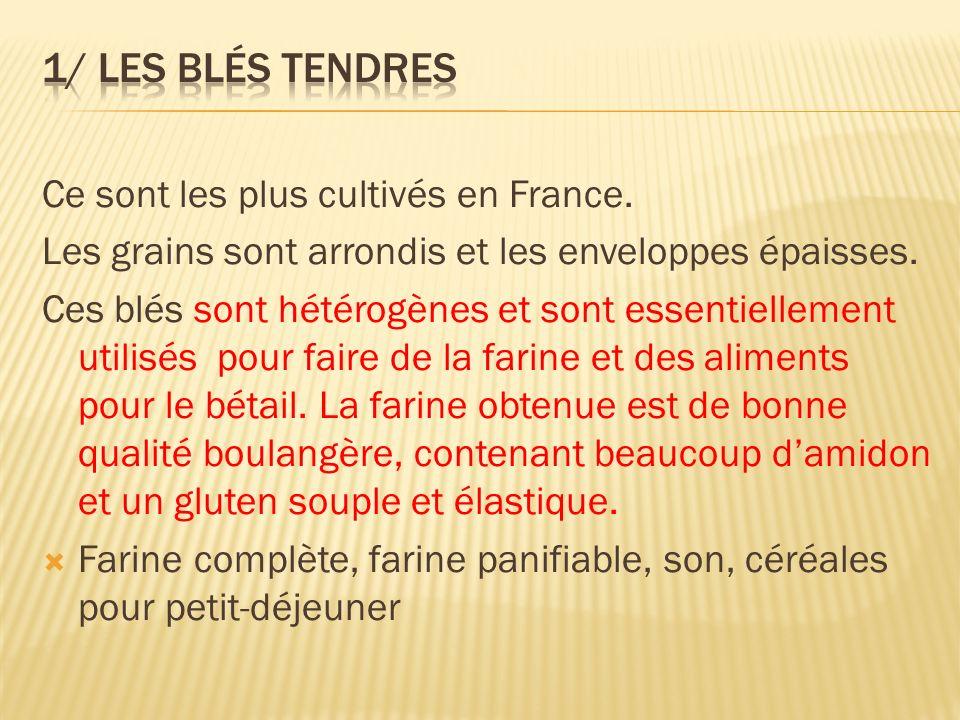Ce sont les plus cultivés en France. Les grains sont arrondis et les enveloppes épaisses. Ces blés sont hétérogènes et sont essentiellement utilisés p