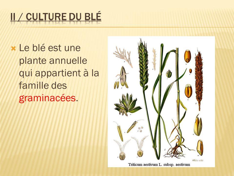 Le blé est une plante annuelle qui appartient à la famille des graminacées.