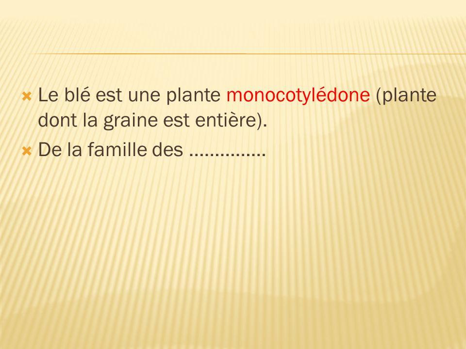 Le blé est une plante monocotylédone (plante dont la graine est entière). De la famille des ……………