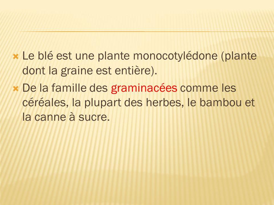 Le blé est une plante monocotylédone (plante dont la graine est entière). De la famille des graminacées comme les céréales, la plupart des herbes, le