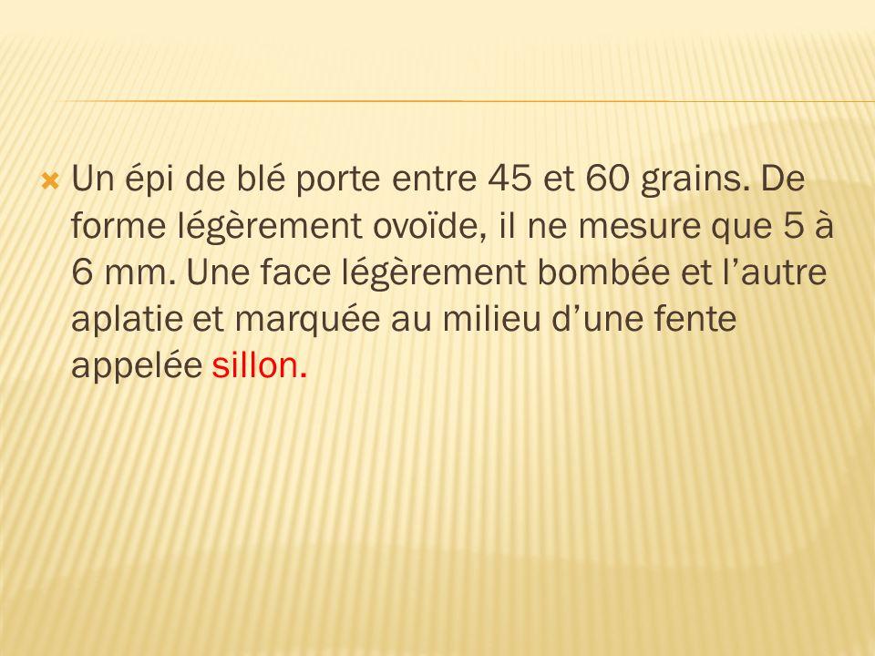 Un épi de blé porte entre 45 et 60 grains. De forme légèrement ovoïde, il ne mesure que 5 à 6 mm. Une face légèrement bombée et lautre aplatie et marq