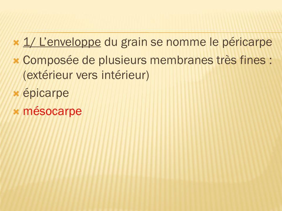 1/ Lenveloppe du grain se nomme le péricarpe Composée de plusieurs membranes très fines : (extérieur vers intérieur) épicarpe mésocarpe