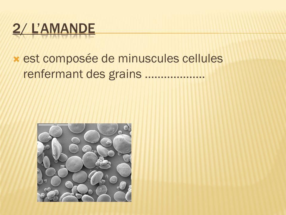 est composée de minuscules cellules renfermant des grains ……………….