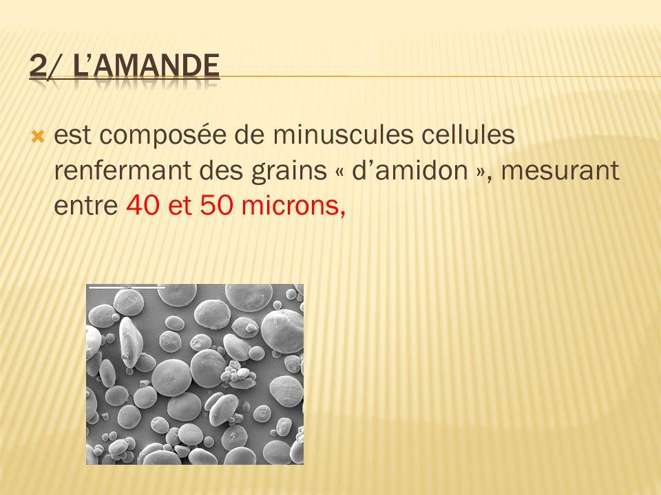 est composée de minuscules cellules renfermant des grains « damidon », mesurant entre 40 et 50 microns,