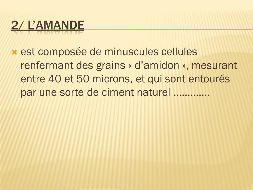 est composée de minuscules cellules renfermant des grains « damidon », mesurant entre 40 et 50 microns, et qui sont entourés par une sorte de ciment n