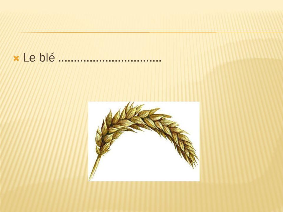 Le blé ……………………………