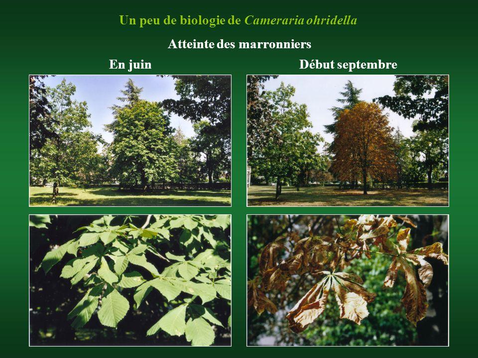 Un peu de biologie de Cameraria ohridella En juinDébut septembre Atteinte des marronniers