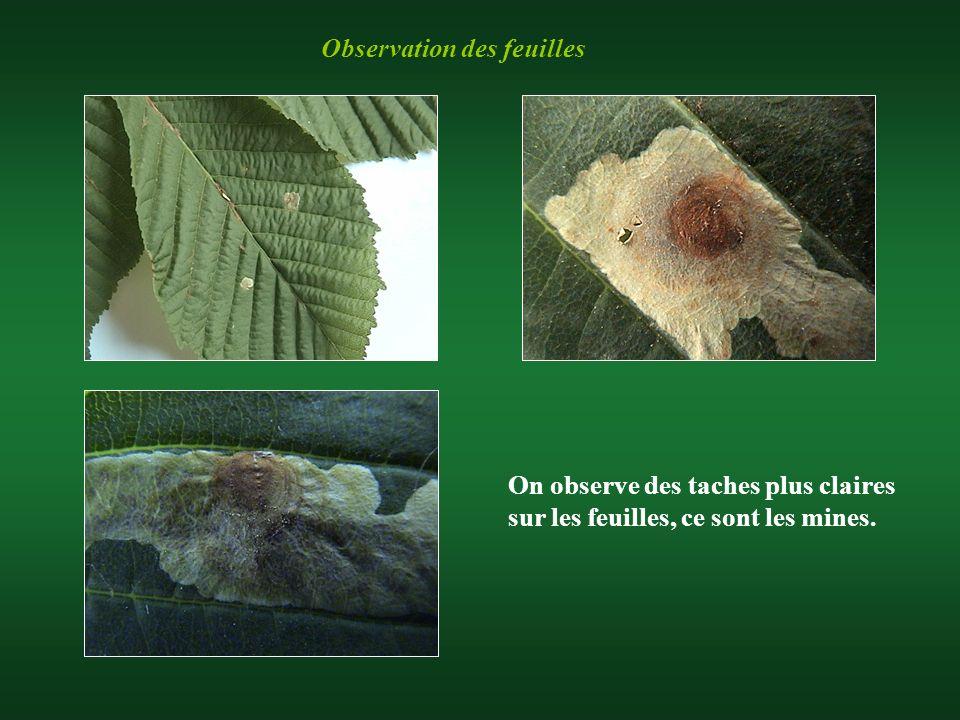 Observation des feuilles On observe des taches plus claires sur les feuilles, ce sont les mines.