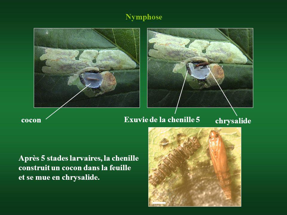 Nymphose cocon chrysalide Après 5 stades larvaires, la chenille construit un cocon dans la feuille et se mue en chrysalide. Exuvie de la chenille 5